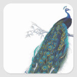 Blue Peacock with beautiful tail feathers Square Sticker