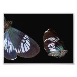 Blue Pericopina Print: Butterfly Photo Print