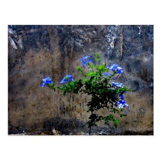 Blue Plumbago Postcard