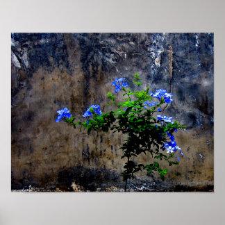 Blue Plumbago Poster