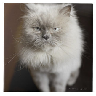Blue Point Himalayan Cat looking irritated Tile