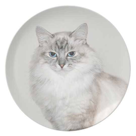 Blue point Himalayan cat Plate