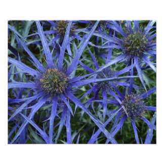 BLUE SEA HOLLY FLOWER Poster Photographic Print