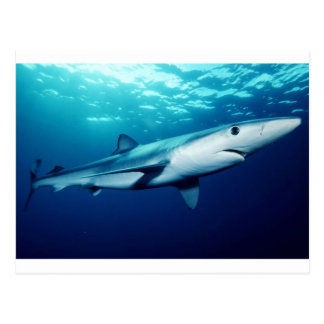 Blue Shark Postcard
