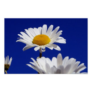 Blue Sky Daisies Poster