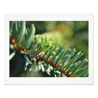 Blue Spruce in the Sun Wall Decor Print Photo Print