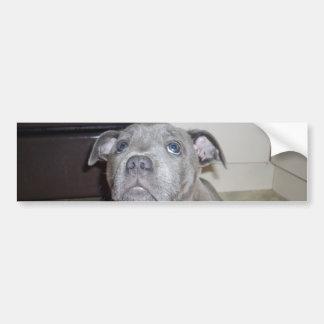 Blue_Staffordshire_Bull_Terrier_Puppy, Bumper Stkr Bumper Sticker