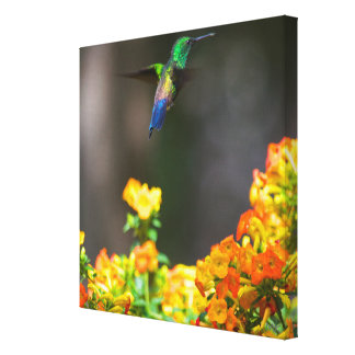 Blue-tailed Costa Rica Hummingbird on Canvas