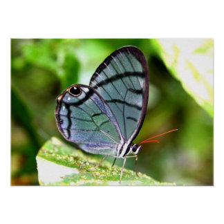 Blue Transparent Butterfly, Costa Rica Poster