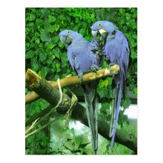 Blue Twin Parrots Vertical Postcard