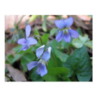 Blue Violets Postcard