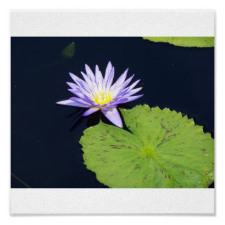 Blue Water Lily Print