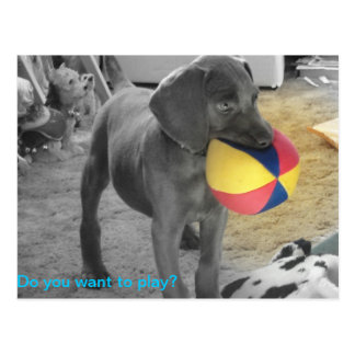 Blue Weimaraner Puppy playing Postcard