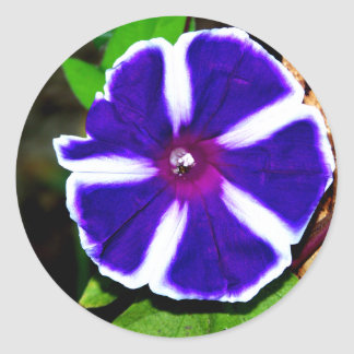 Blue, White and Purple Morning Glory Classic Round Sticker