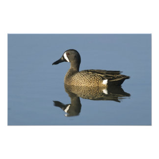 Blue-winged Teal, Anas discors,male, Port Photo Print
