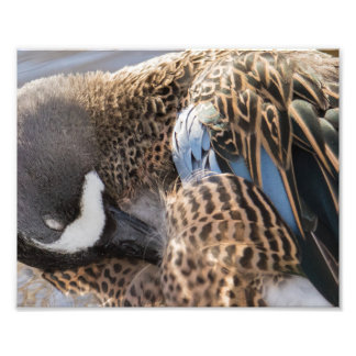 Blue Winged Teal Duck Photography Print
