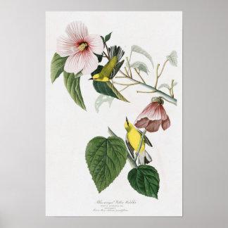 Blue-winged Yellow Warbler Audubon Birds America Poster