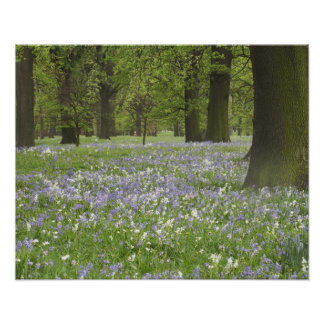 Bluebells and Oak Trees in Spring, Little Hagley Poster