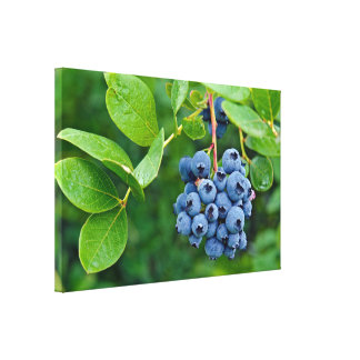 blueberry bunch on bush canvas print