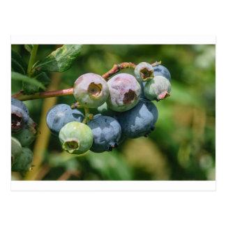 Blueberry Bush Postcard