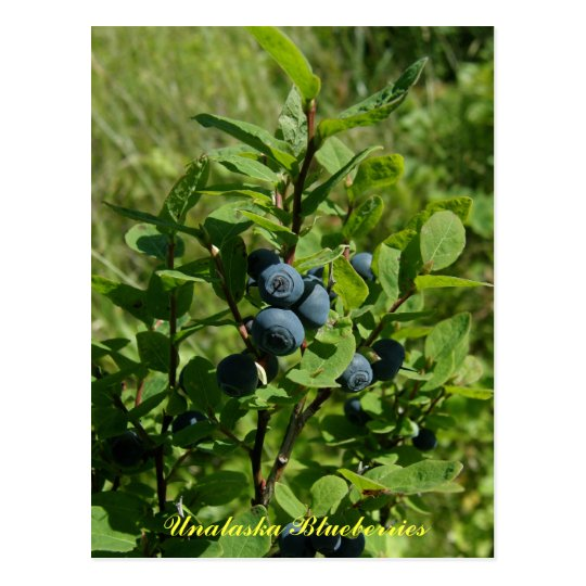 Blueberry Bush, Unalaska Island Postcard