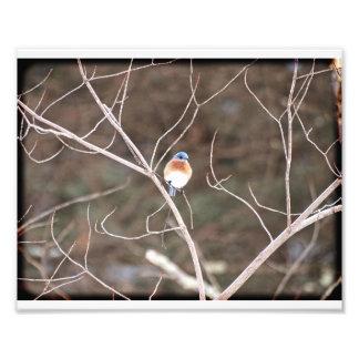 Bluebird 01 photograph