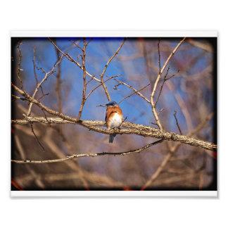 Bluebird 02 photograph