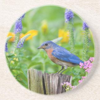 Bluebird male on fence post in flower garden drink coaster