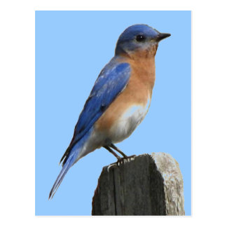 Bluebird Male Postcard