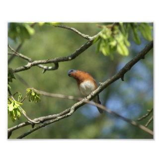 Bluebird Photo Print