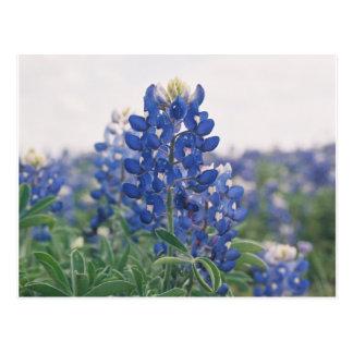 bluebonnet postcard
