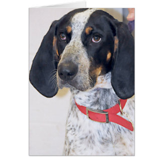Bluetick Coonhound Photo Card