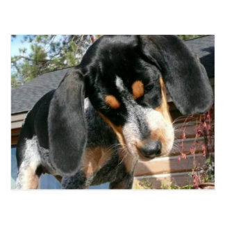 Bluetick Coonhound Postcard