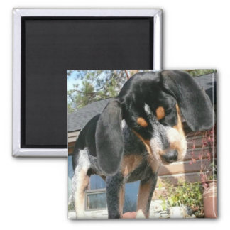 Bluetick Coonhound Puppy Magnet