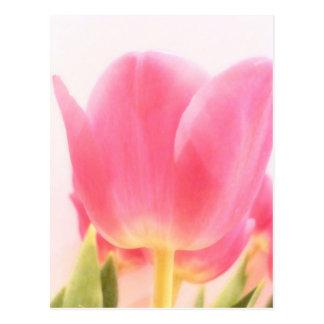 Blush Tulip Postcard