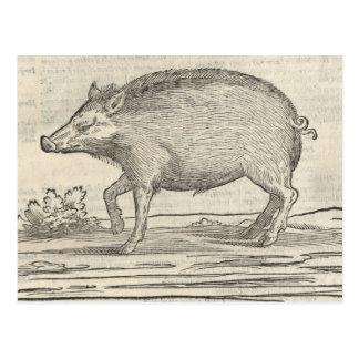 Boar Postcard