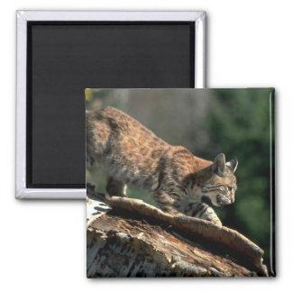 Bobcat, autumn, older kitten in tree magnet