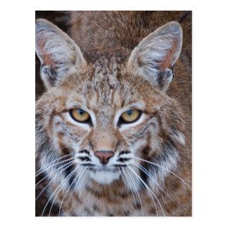 Bobcat Face Postcard
