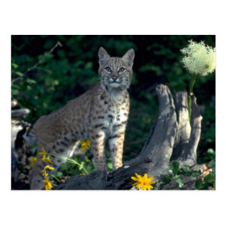 Bobcat in yellow daisies and bear grass in bloom postcard