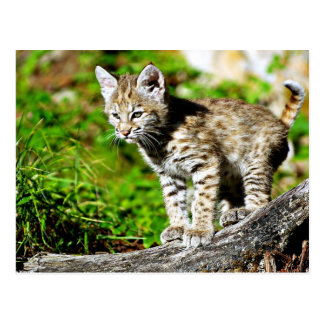 Bobcat Kitten Postcard