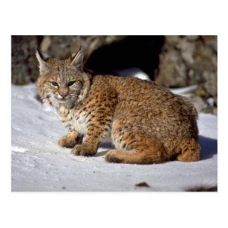 Bobcat on snowy rocks postcard