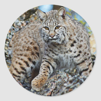 Bobcat on the Rocks Classic Round Sticker