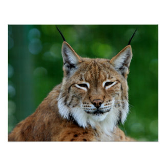 Bobcat or lynx beautiful photo poster, print