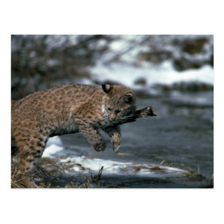 Bobcat rubbing on stick by snowy pond postcard