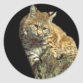 Bobcat sitting on rock classic round sticker