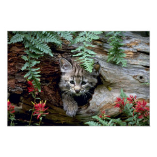 Bobcat-summer-young kitten in hollow log poster