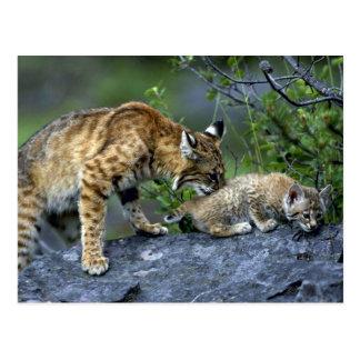 Bobcats-summer-mom with small kitten postcard
