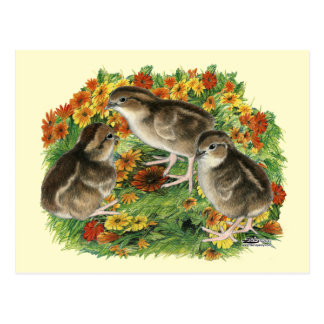 Bobwhite Garden Chicks Postcard