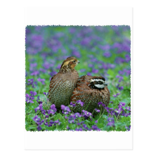 Bobwhite Quail Photography Postcard