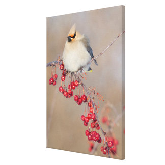 Bohemian waxwing in winter, Canada Canvas Print